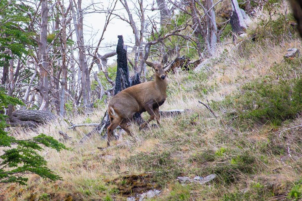 Huemel in Torres del Paine NP