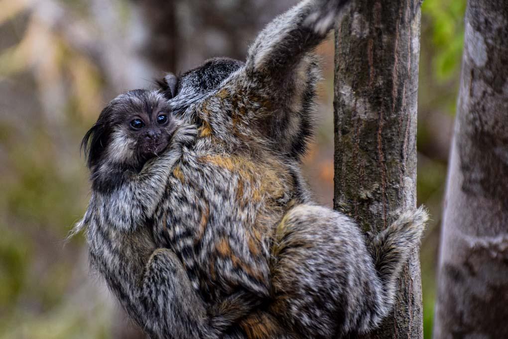 A monkey in Brazil