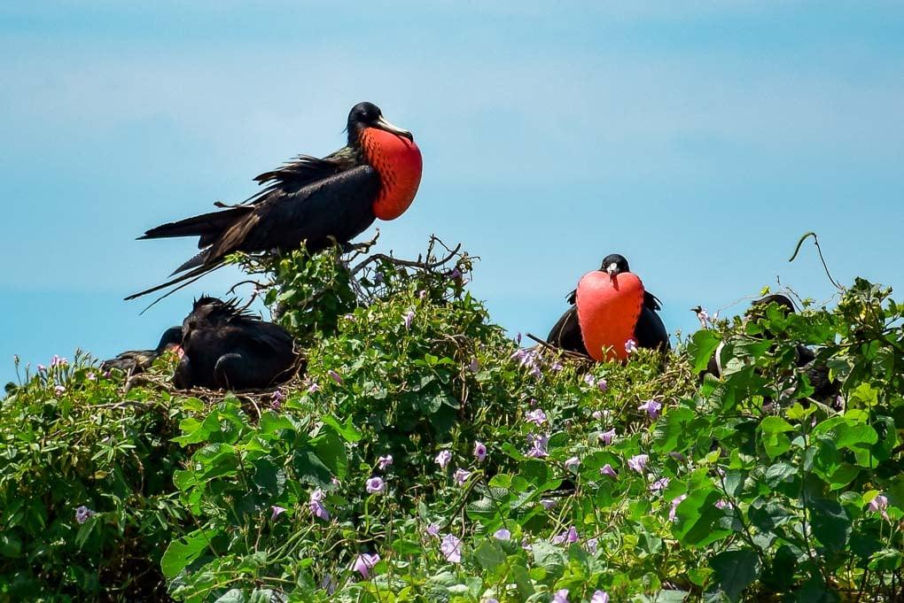 Male Frigatebirds puff up their chests on Isla de la Plata, Ecuador