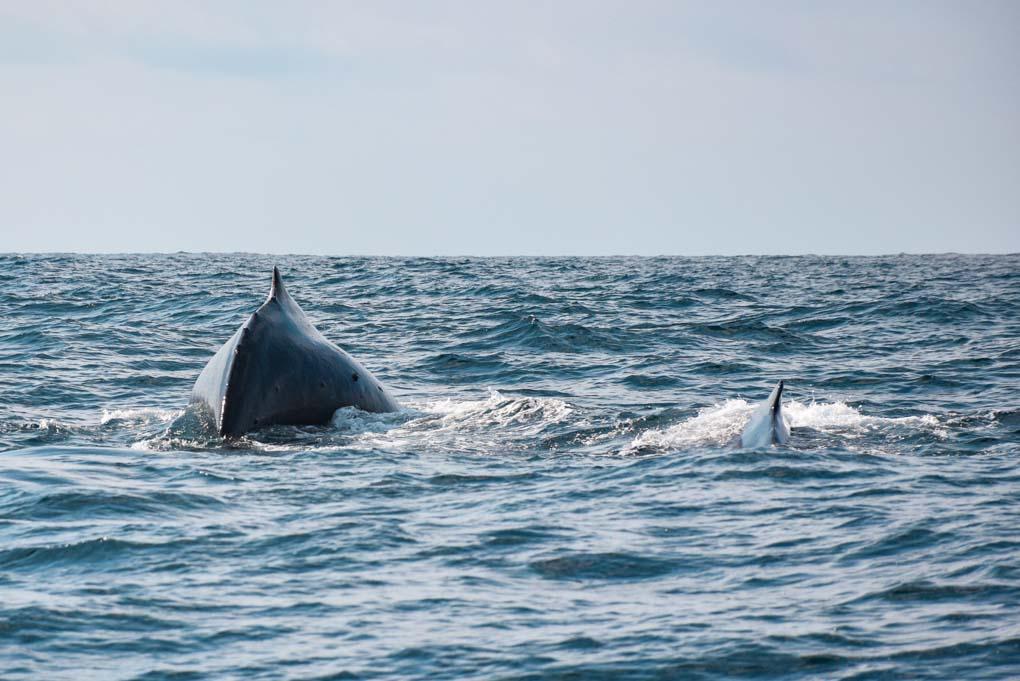 An adult and baby whale breach near Isla de la Plata, Ecuador