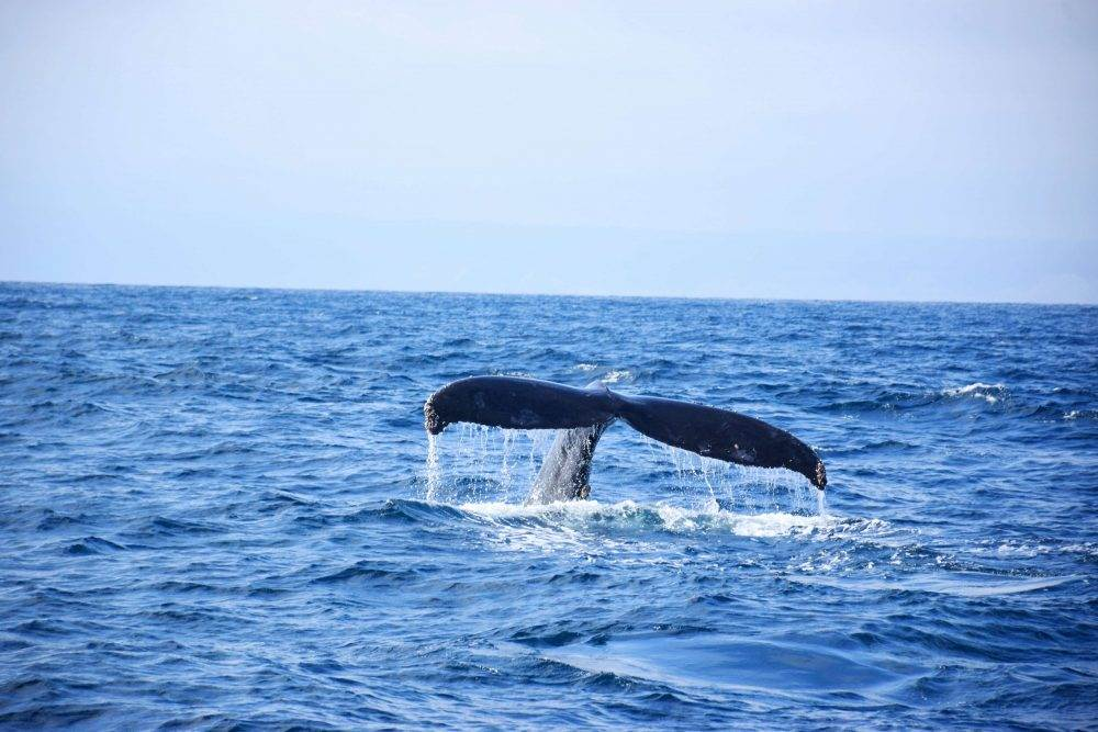 Humpback whales near the poor man's galapagos