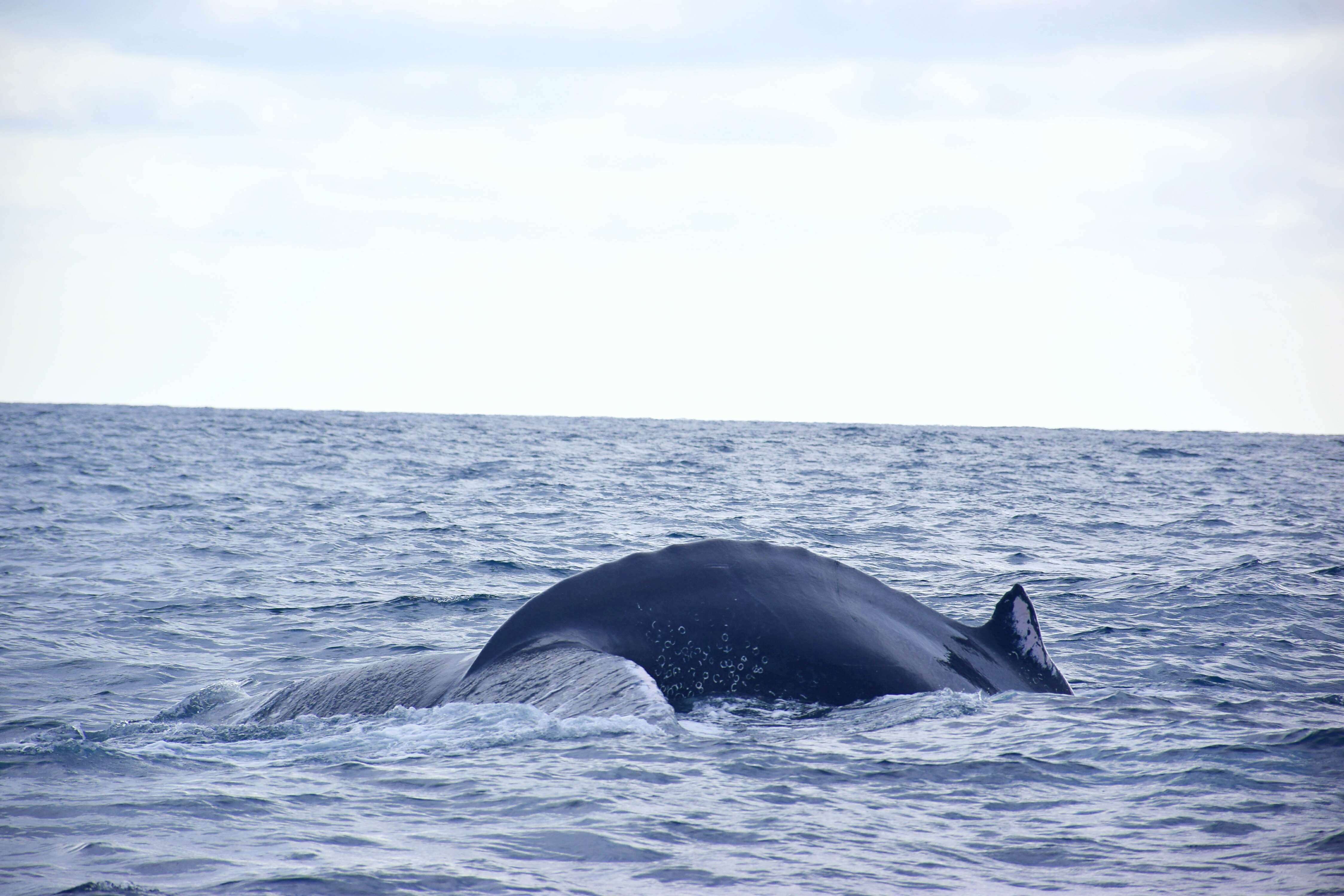 humpback whale watching ecuador