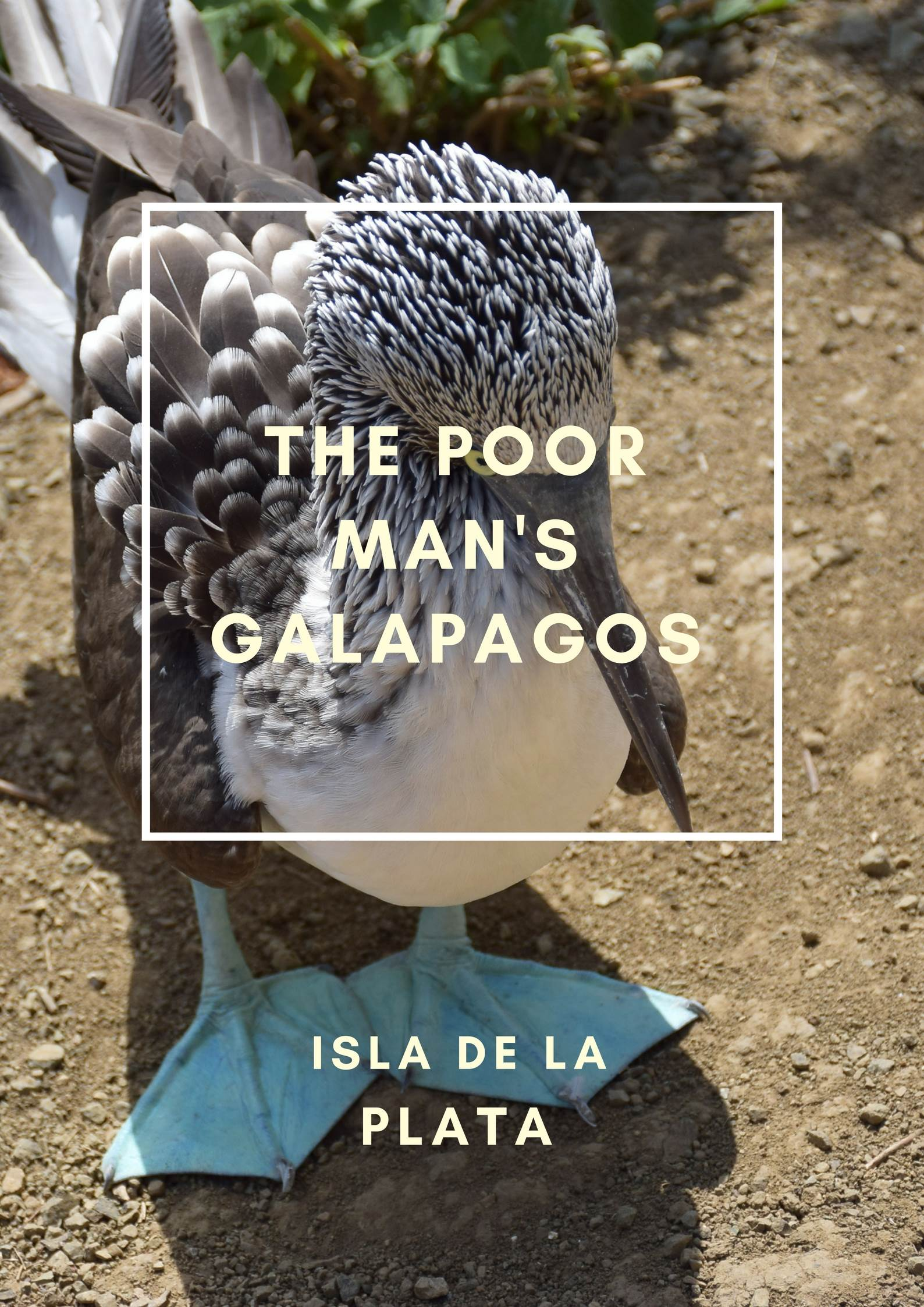 poor man's galapagos pin image