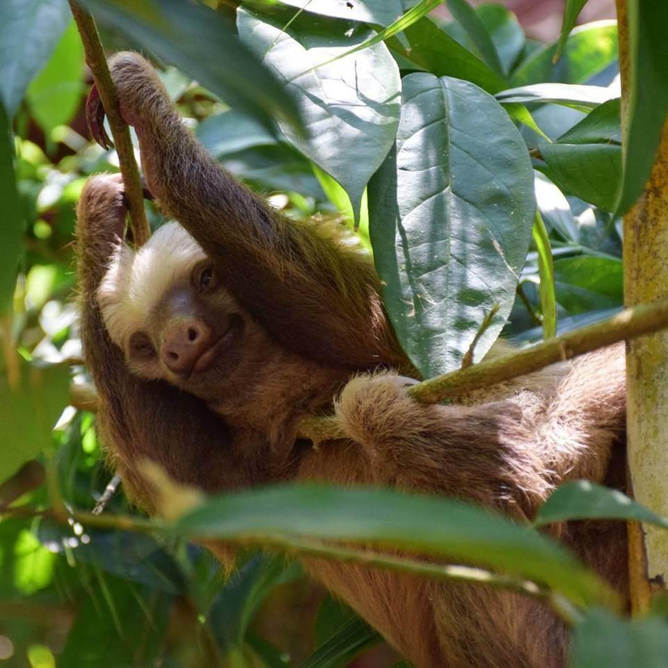 sloths in Puerto Viejo