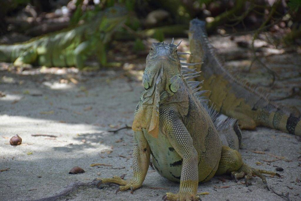 iguanas on johnny cay san anres
