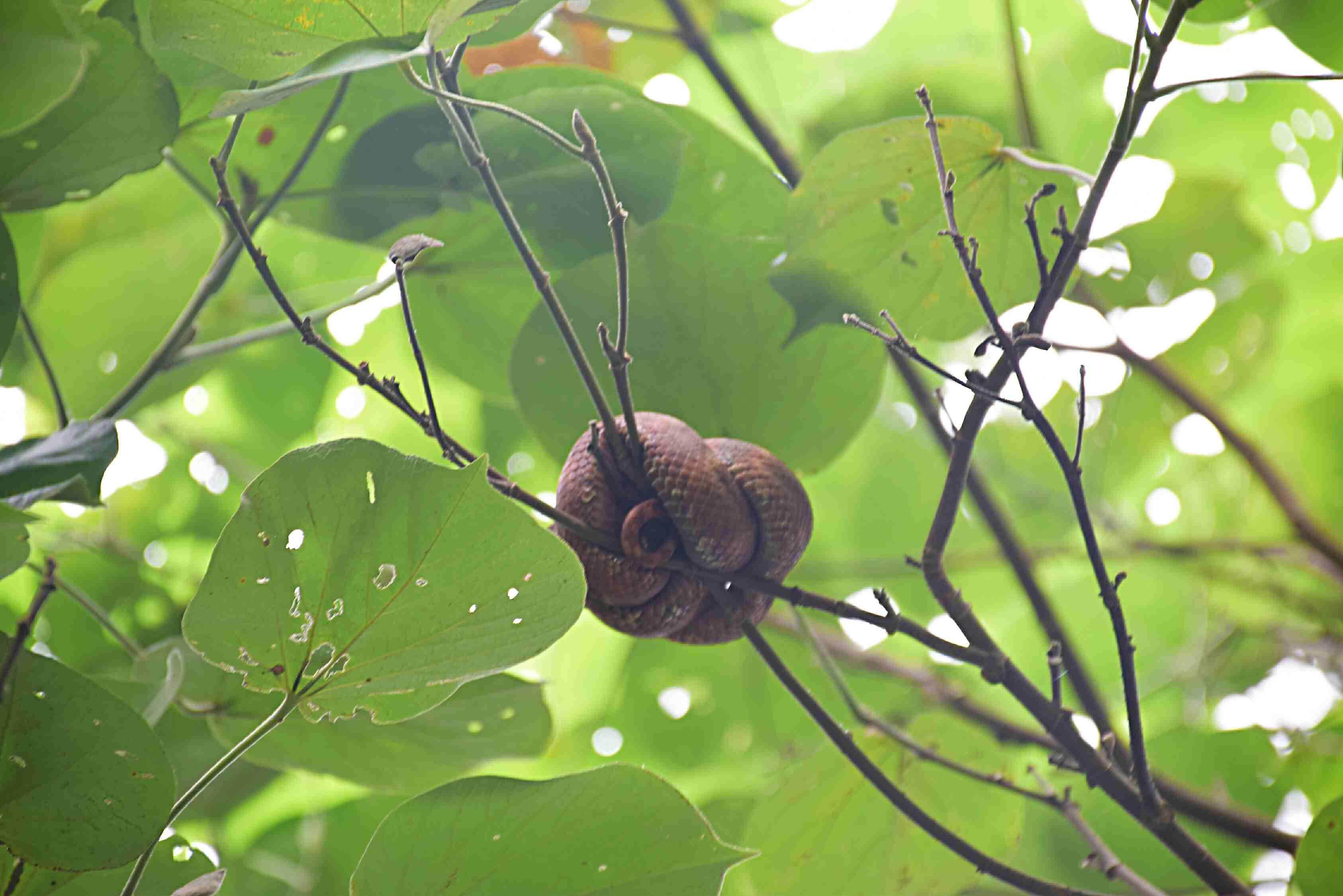 a snake in Cahuita National Park costa rica