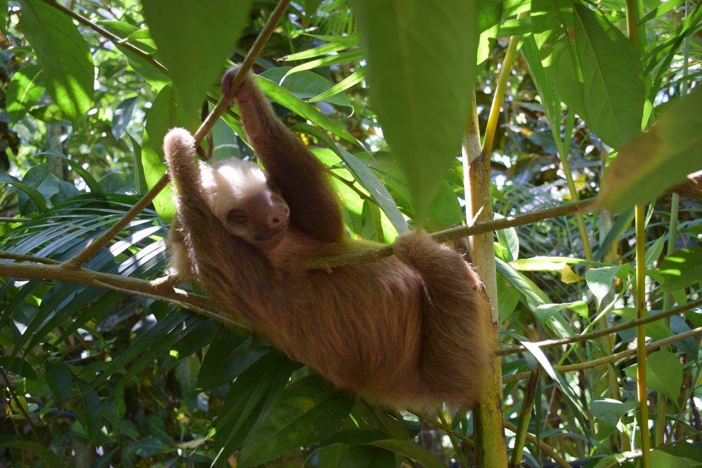 sloths in cahuita national park