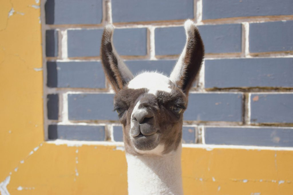 peru travel photo gallery llama