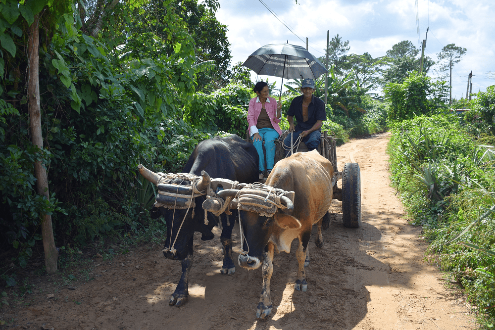 A mode of transportation in Vinales (the cigar region of Cuba)