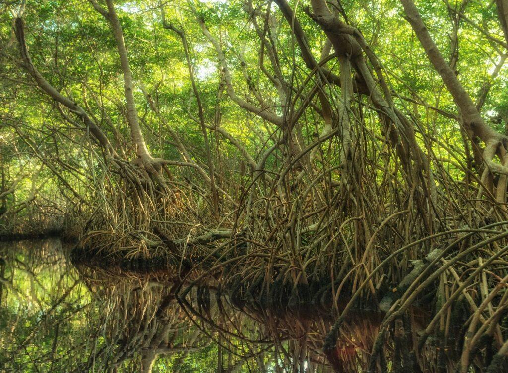 a mangrove in Sian Kaan Biosphere near Tulum, Mexico