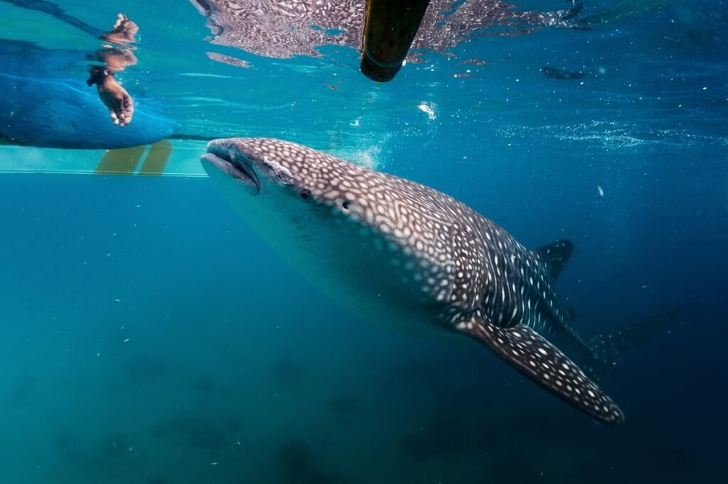 persons hand with whale shark in Tulum, Mexico