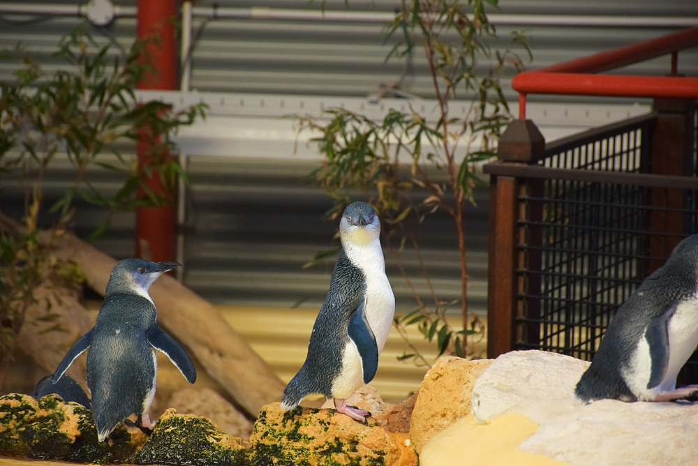 The Penguins on Penguin Island, Perth