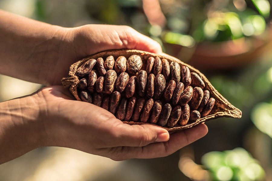 cocoa beans are grown near salento colombia