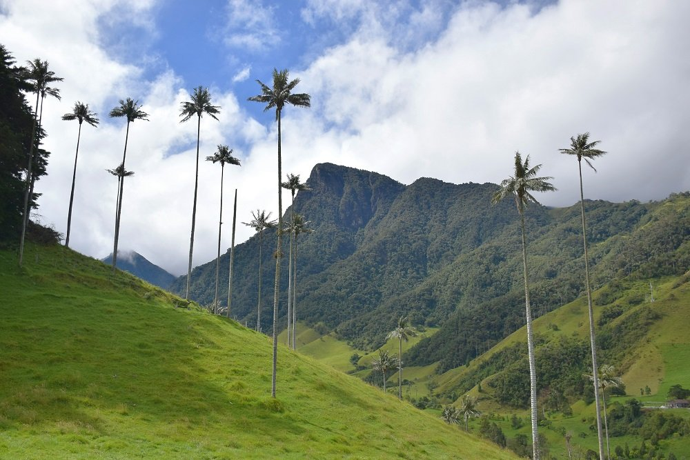 The wax palms in the Valle de Cocora near Salento