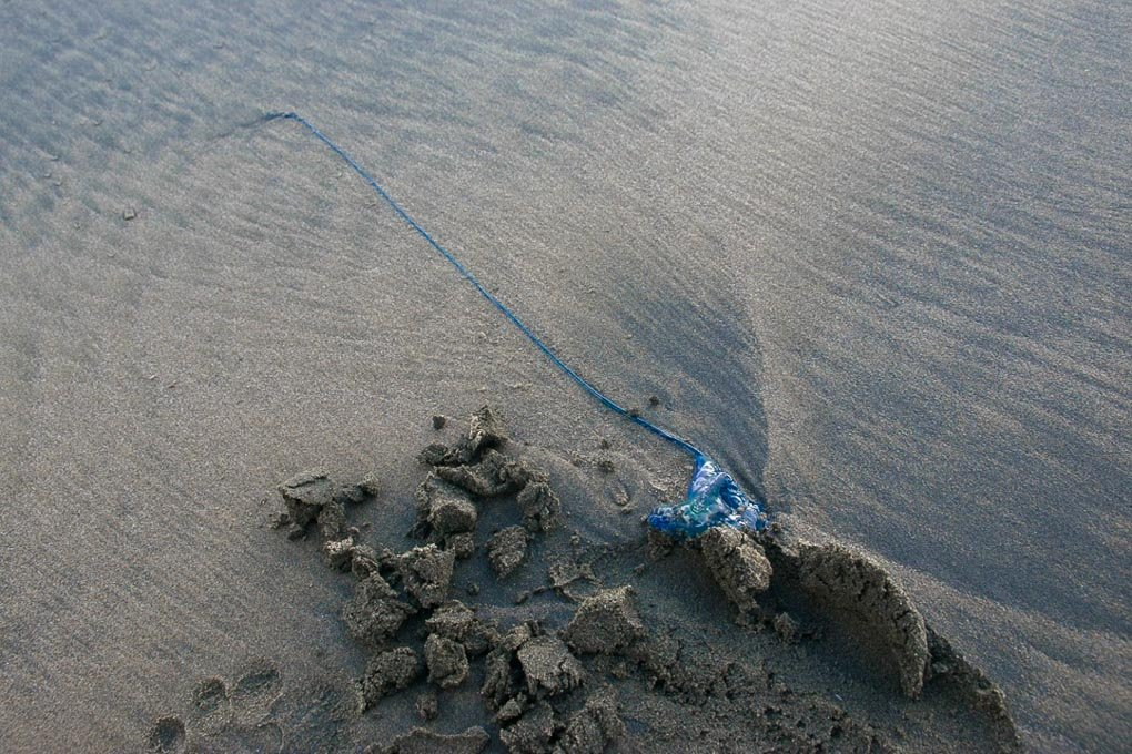 A blue bottle stinger at Bethells Beach