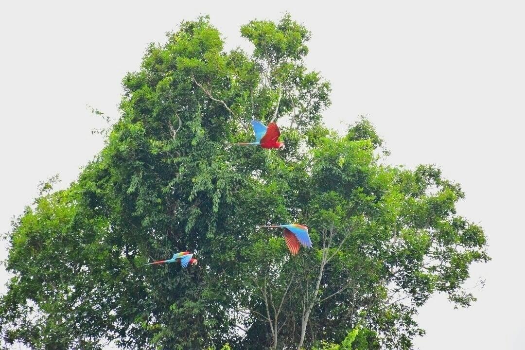 Macaws near puerto maldonado