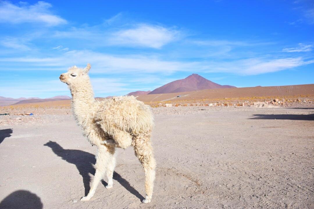 A Llama poses for a photo near the Salt Flats in Bolivia