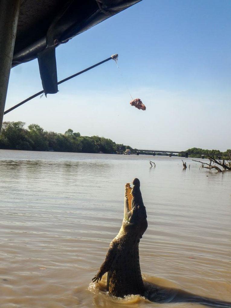 A female  crocodile breaching the water on a darwin croc cruise