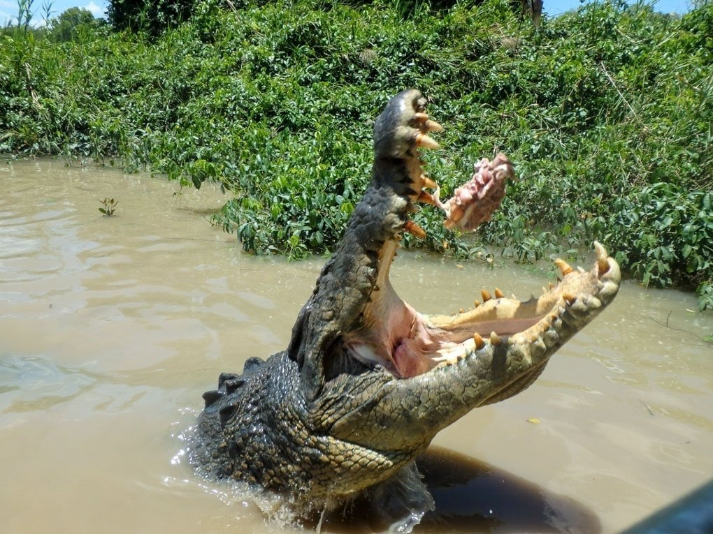 A crocodile takes some meat on a jumping crocodile cruise in Darwin, Australia