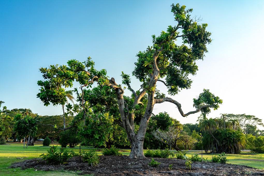 a tree in the darwin botanic garden