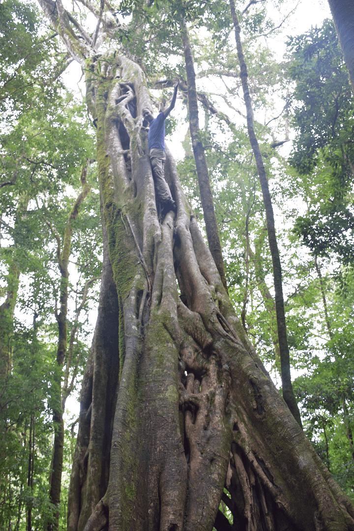 ficus tree in santa elena