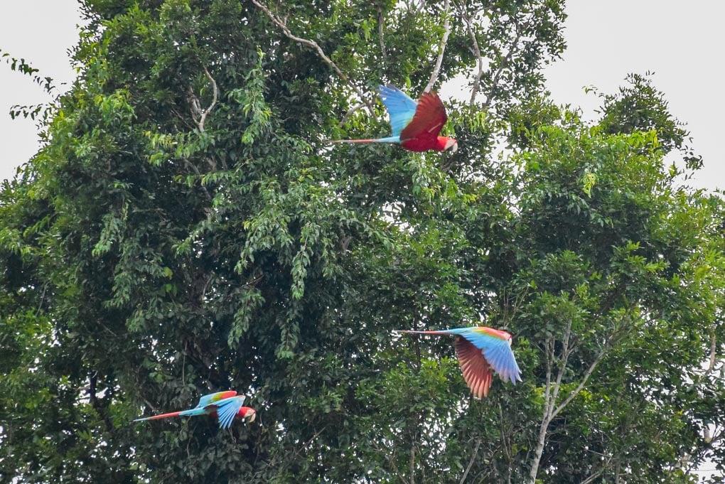 Macaws flying towards the clay wall in Puerto Maldonado