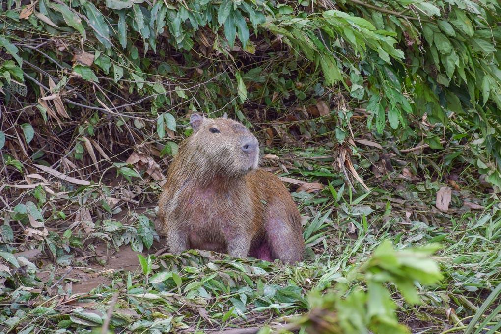 A Capybara sits on the shores on an Amazon River near Puerto Maldonado