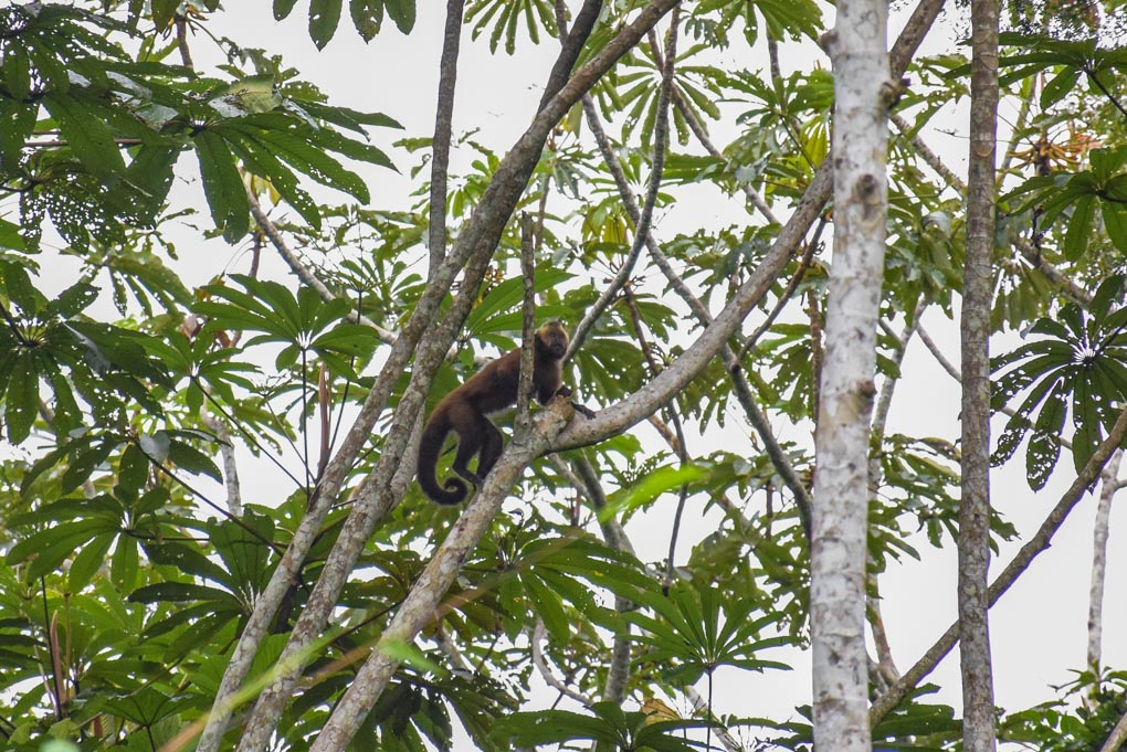 A Howler monkey near our camp in Puerto Maldonado Amazon