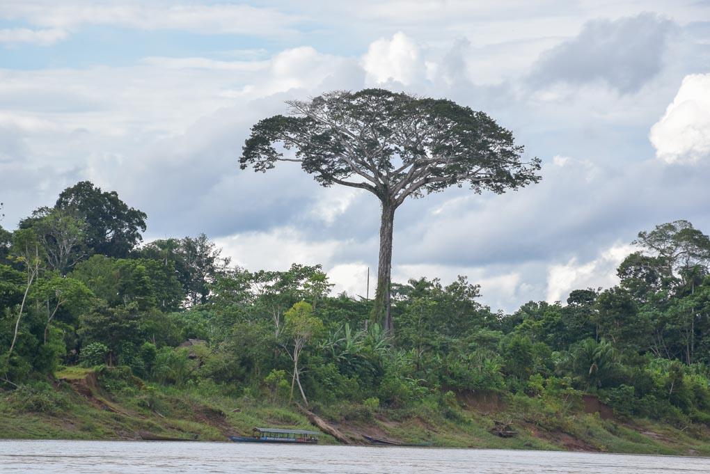 A lone tree in the Amazon Rainforrest near Puerto Maldonado