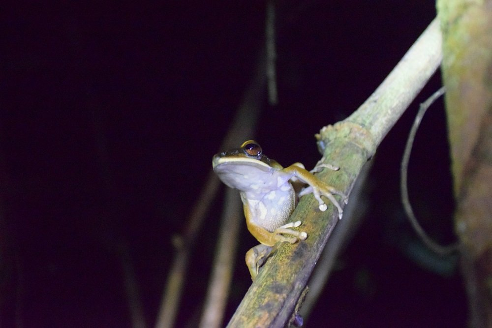 A frog in the Amazon jungle on our night tour near Puerto Maldonado