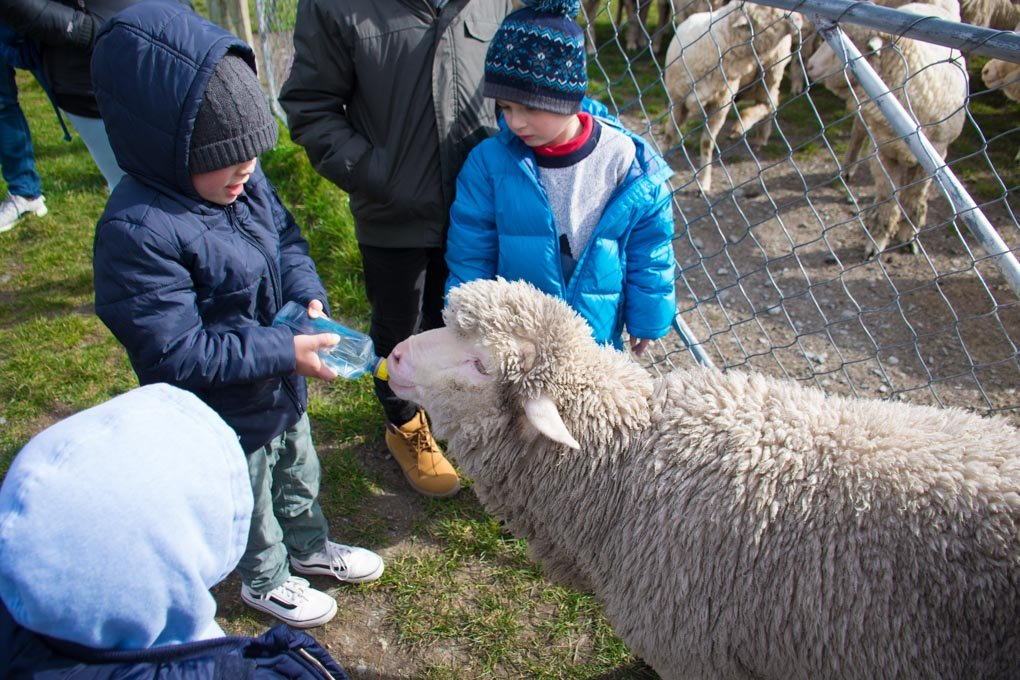 A young boy feeds a sheep at the Mt Nichlas Station, Queesntown
