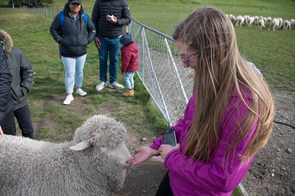 Bailey feeds a sheep on the Mt Nicholas Farm