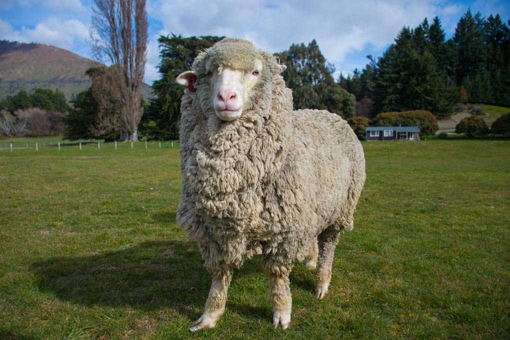 A Moreno Sheep poses for a photo at the Mt Nicholas Station near Queenstown