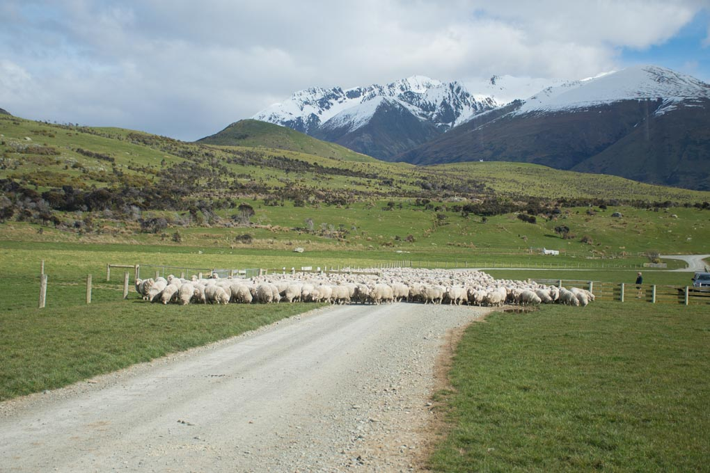 the sheep getting herded towards us at the Mt Nicholas Station