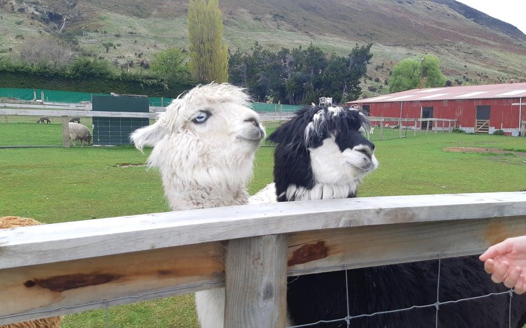 lamas and alpacas in glenerchy