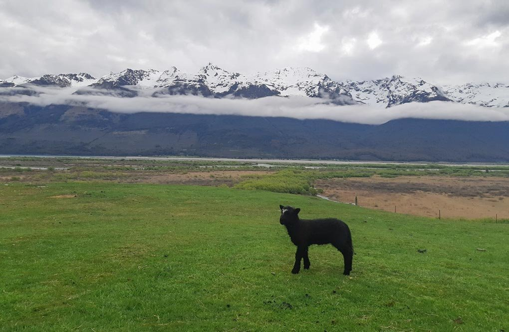 A black baby lamb at the Glenorchy Animal Experience