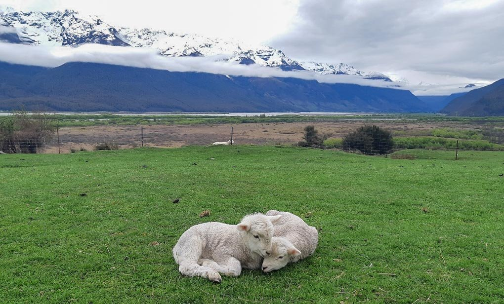 Two babay lambs cuddle at the Glenorchy Animal Experience