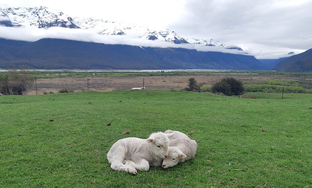 lambs at he glenorchy farm experience