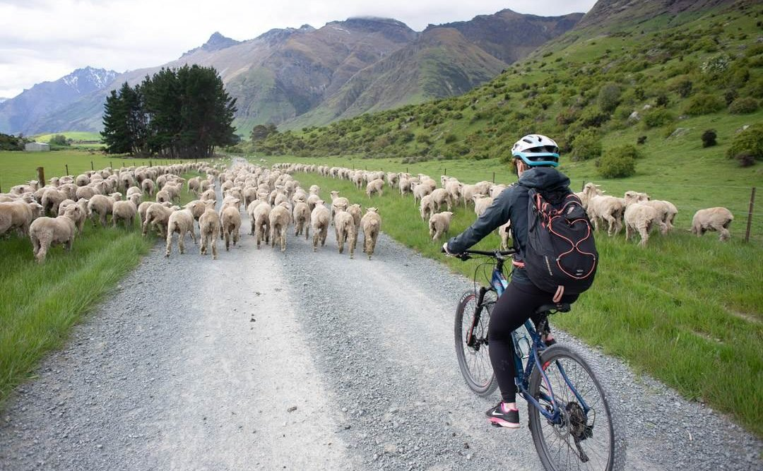 Ridng the station to station bike ride queenstown will all the sheep