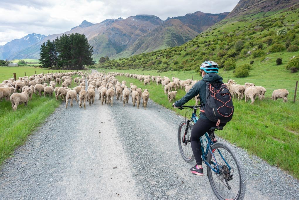 Bailey rides through a herd of sheep on the Station 2 Station bike trail in Queenstown