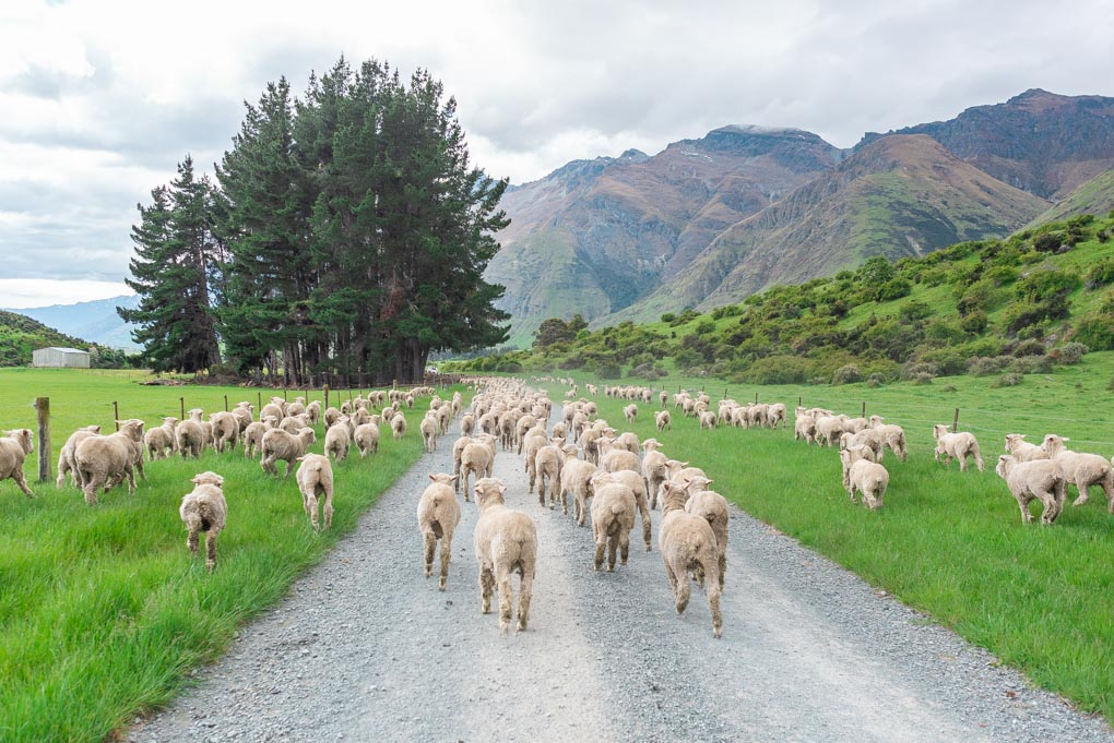 A herd of sheep on at the Walter Peak Station