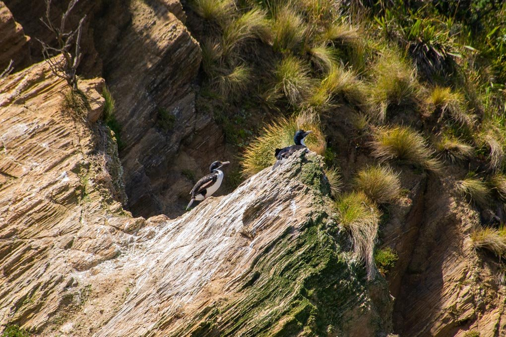 Two birds sit on a rock in the Marlborough Sounds