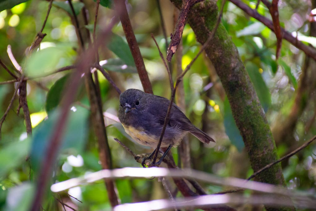 A Robin on Motuara Island, Marlborough Sounds, NZ