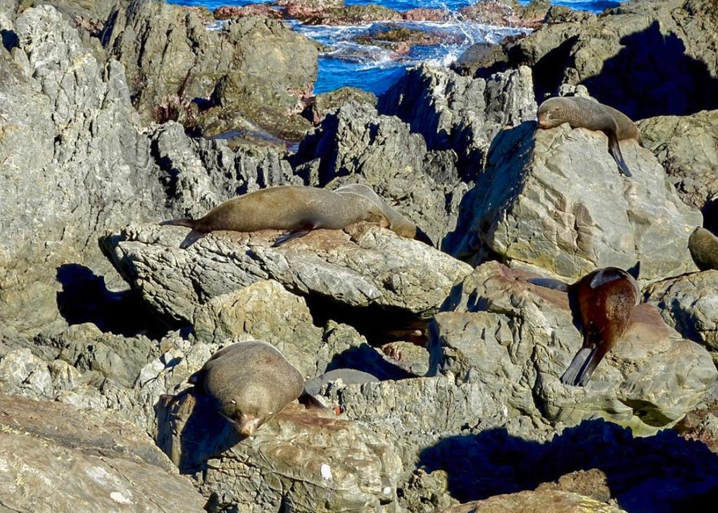 New Zealand Fur Seals at the Red Rocks Walk, Wellington