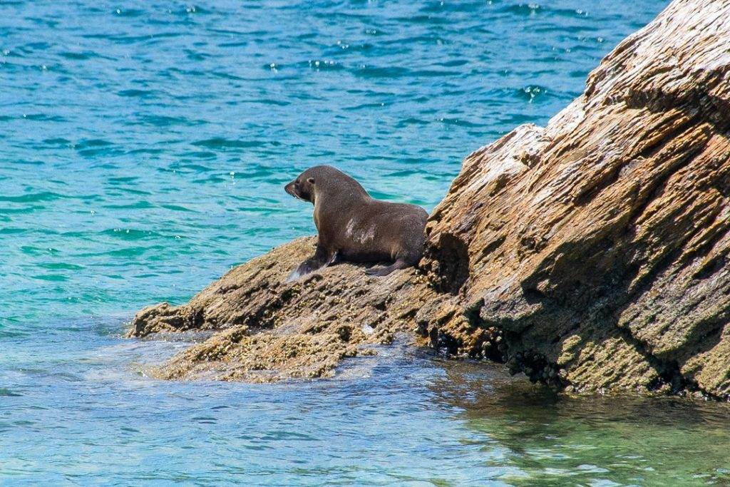 A seal sits on a rock in the Marlborough Sounds on our Marlborough Sounds cruise.