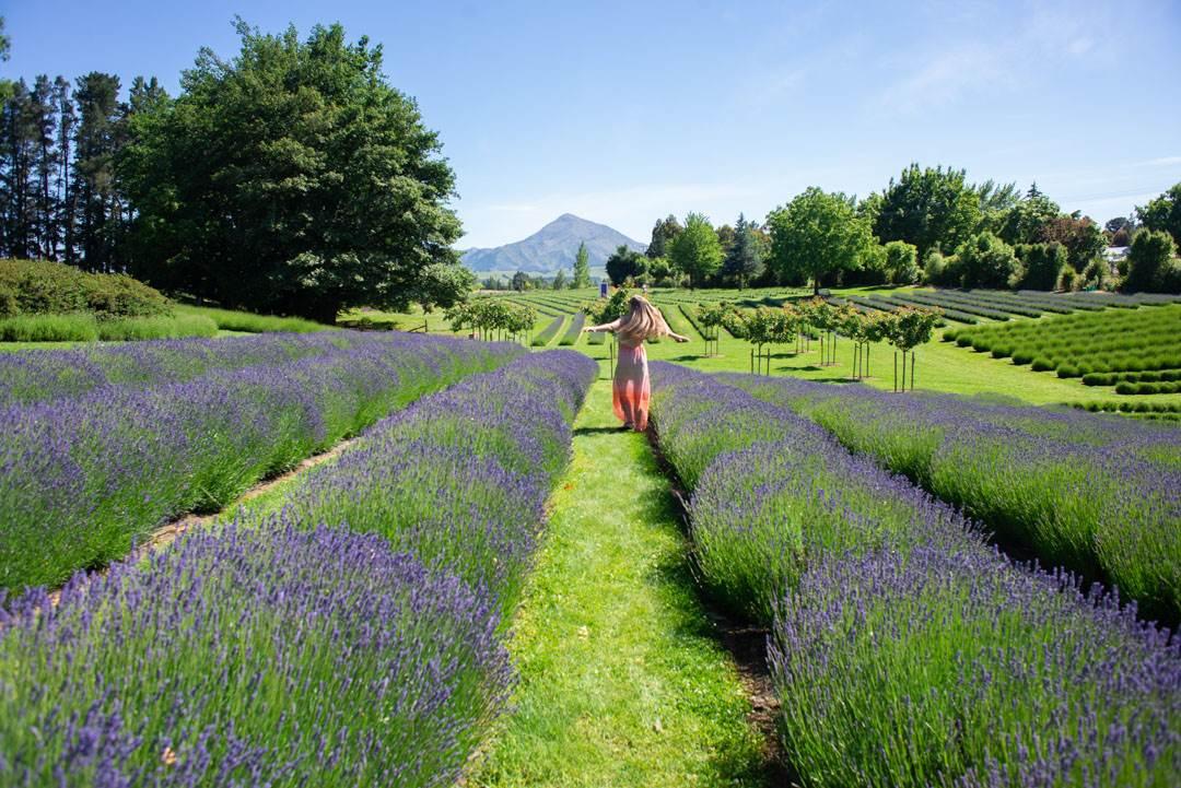 exploring the wanaka lavender farm
