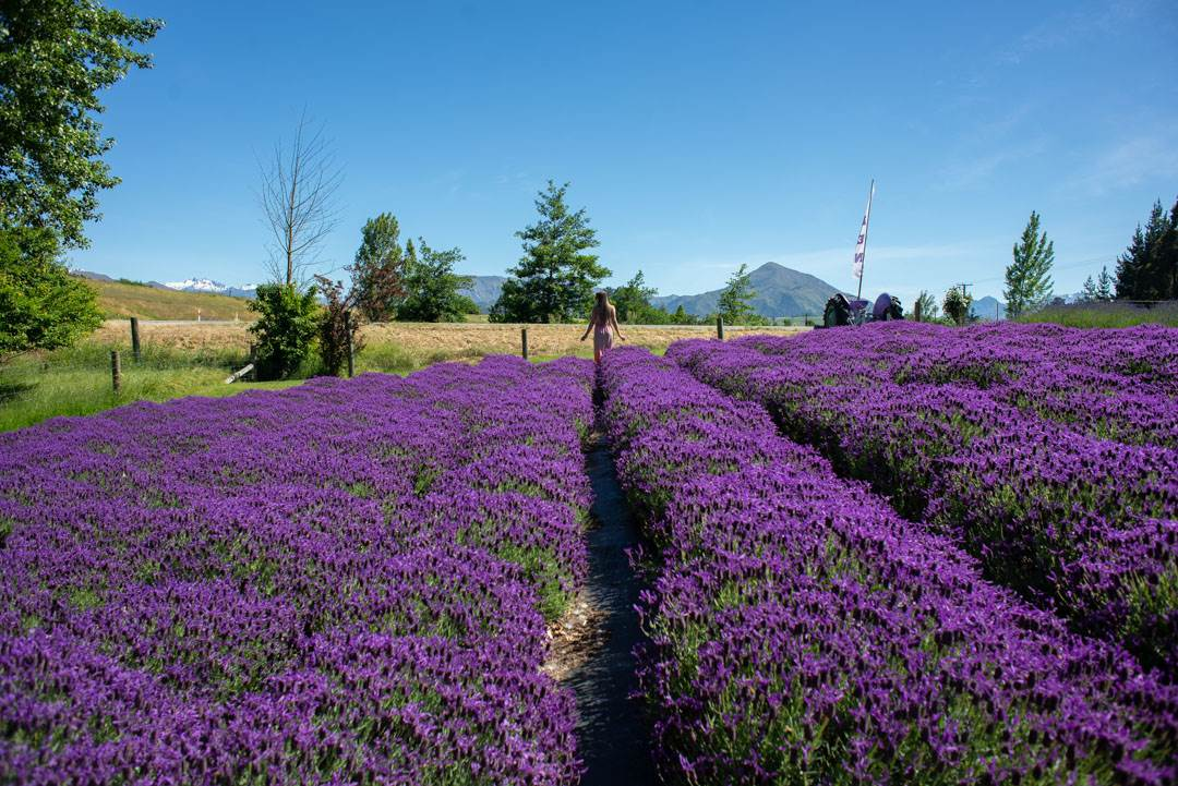 Guide to Visiting the Wanaka Lavender Farm, New Zealand