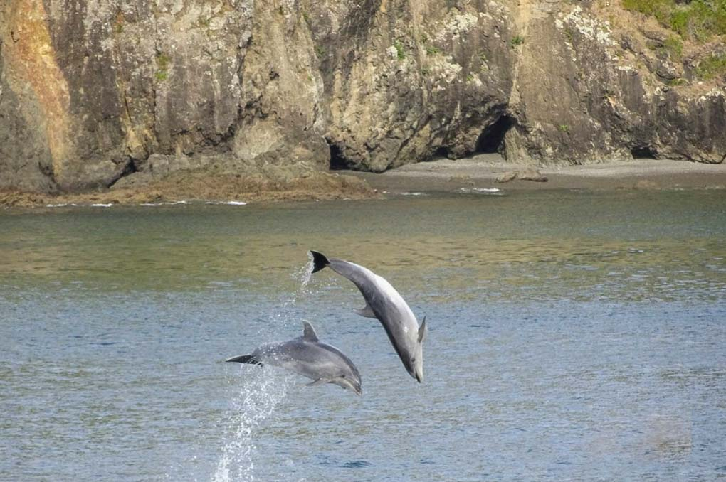 Two Dolphins jump from the water on a Bay of Islands Dolphin Cruise