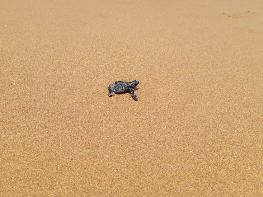 baby turtle on the sand in Hikkaduwa, Sri Lanka