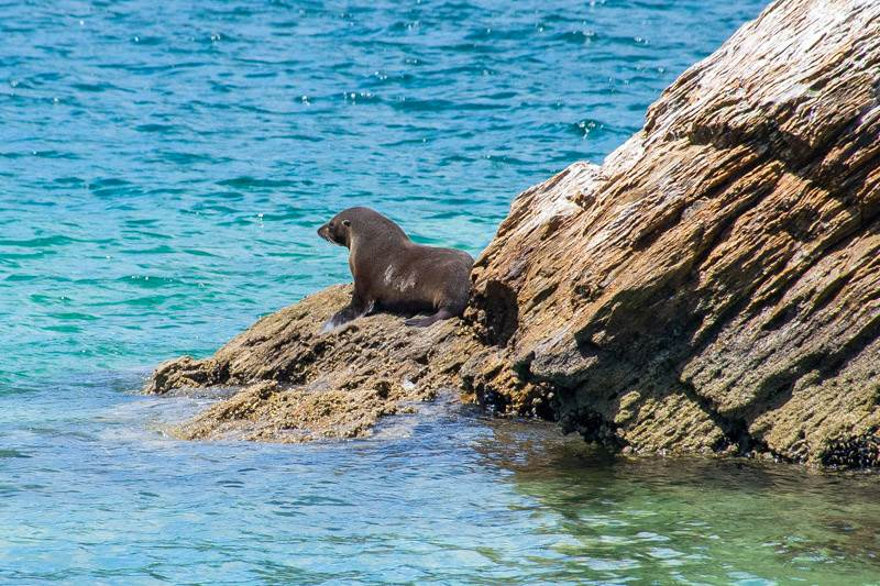 Seal watching in the Marlborough Sounds New Zealand